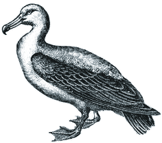 a cranky looking albatross