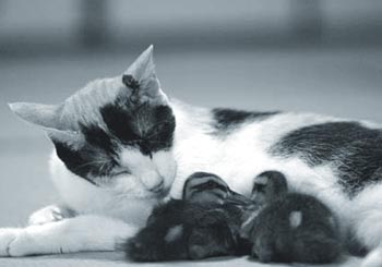 Hiroko the cat grooming 2 ducklings.